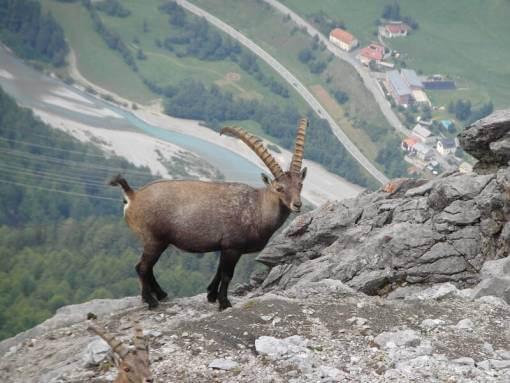 Steenbokken in Wallis Zwitserland
